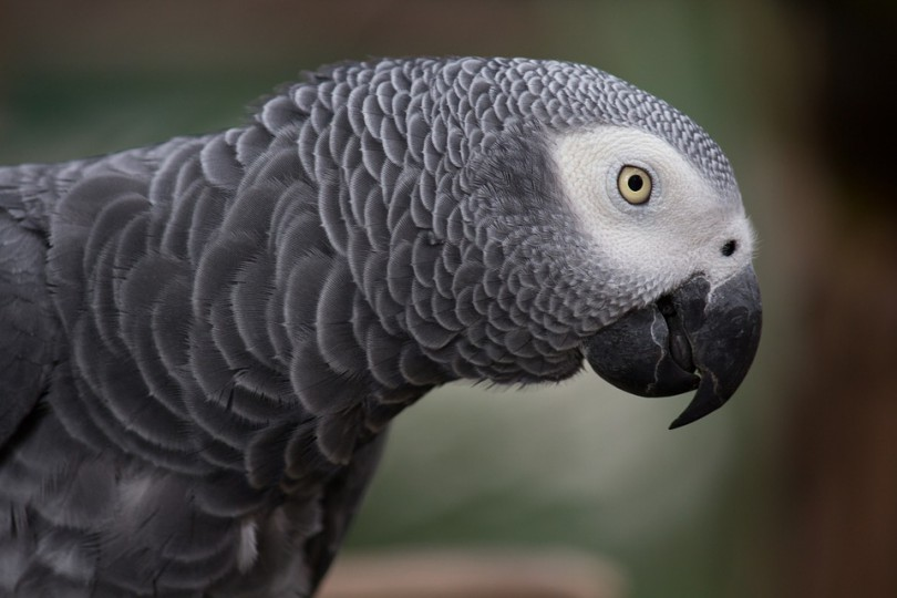 grey-parrot-1140551_960_720